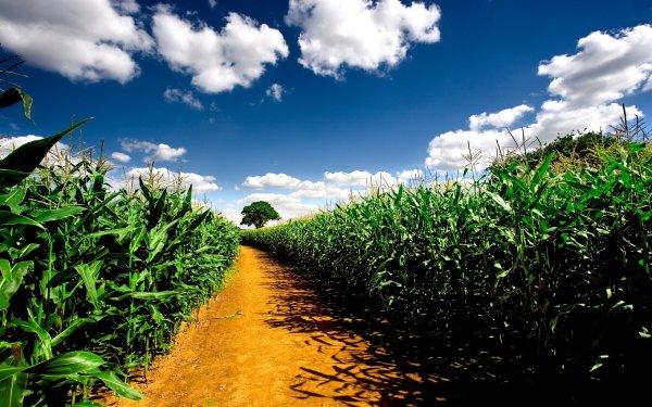 Earth Field Corn HD Wallpaper | Background Image
