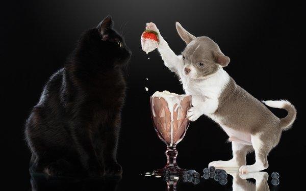 Animal Cat & Dog Cat Dog Chihuahua Pet HD Wallpaper | Background Image