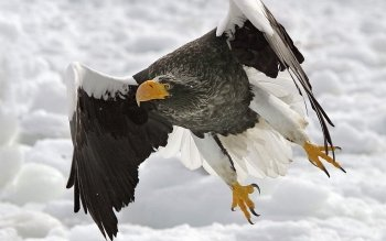 Animal - Eagle Wallpapers and Backgrounds ID : 113739