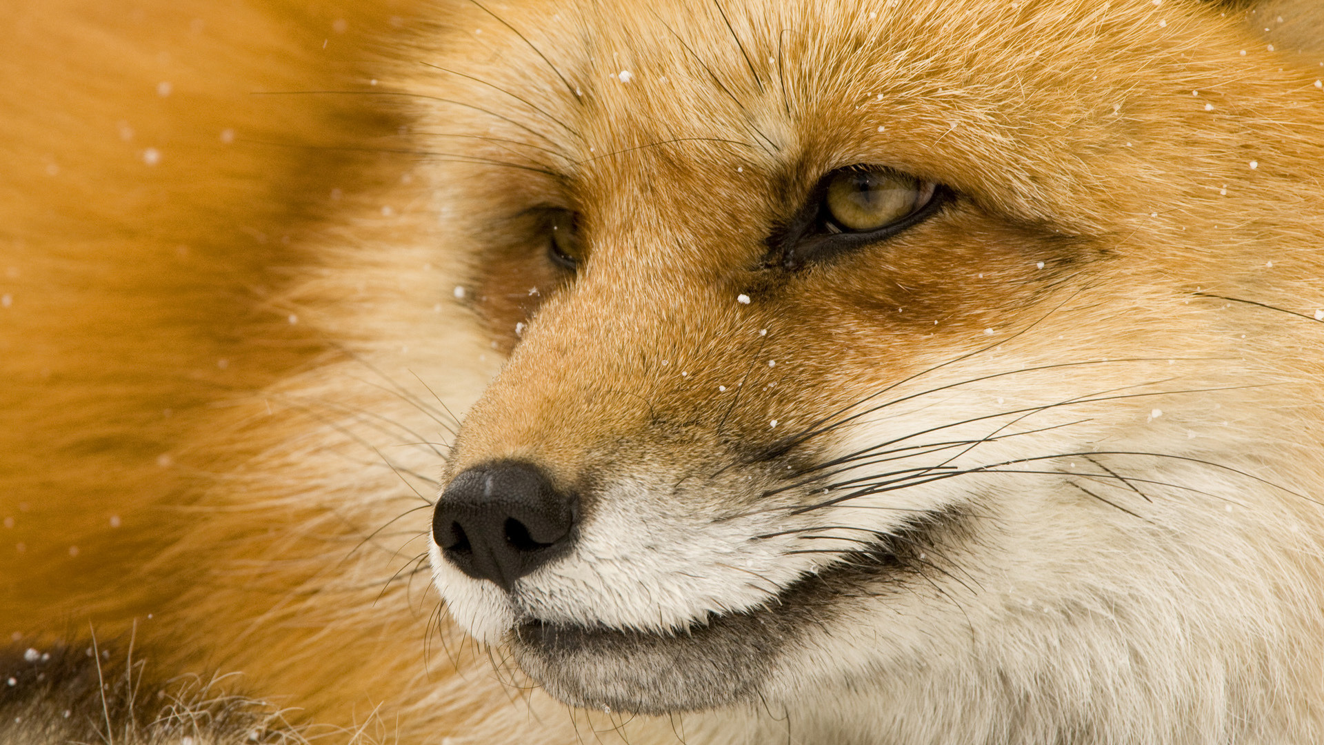 Animals Fox Orange Wallpaper Animal Wallpapers: Fox Full HD Wallpaper And Background