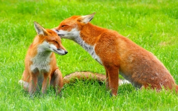 Animal - Fox Wallpapers and Backgrounds ID : 114139