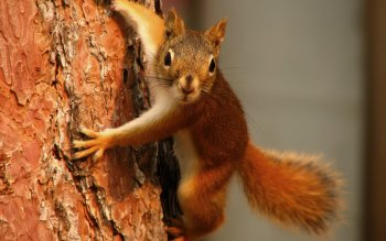 Animal - Squirrel Wallpapers and Backgrounds ID : 114339