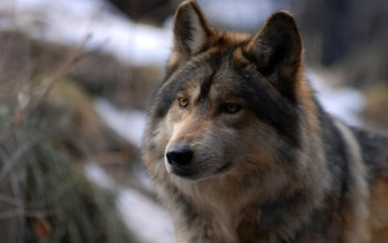Animalia - Wolf Wallpapers and Backgrounds ID : 114357