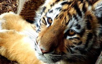 Animal - Tiger Wallpapers and Backgrounds ID : 114835