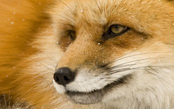 Animal - Fox Wallpapers and Backgrounds ID : 114909