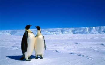 Animal - Penguin Wallpapers and Backgrounds ID : 114955
