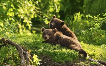 Animal - Bear Wallpapers and Backgrounds ID : 114967