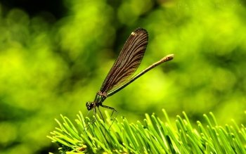 Animal - Dragonfly Wallpapers and Backgrounds ID : 115055