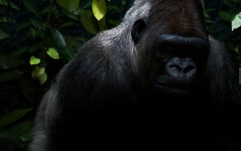 Djur - Gorilla Wallpapers and Backgrounds ID : 115369
