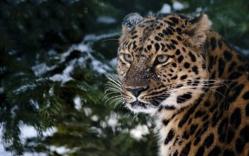 Animal - Leopard Wallpapers and Backgrounds ID : 115567