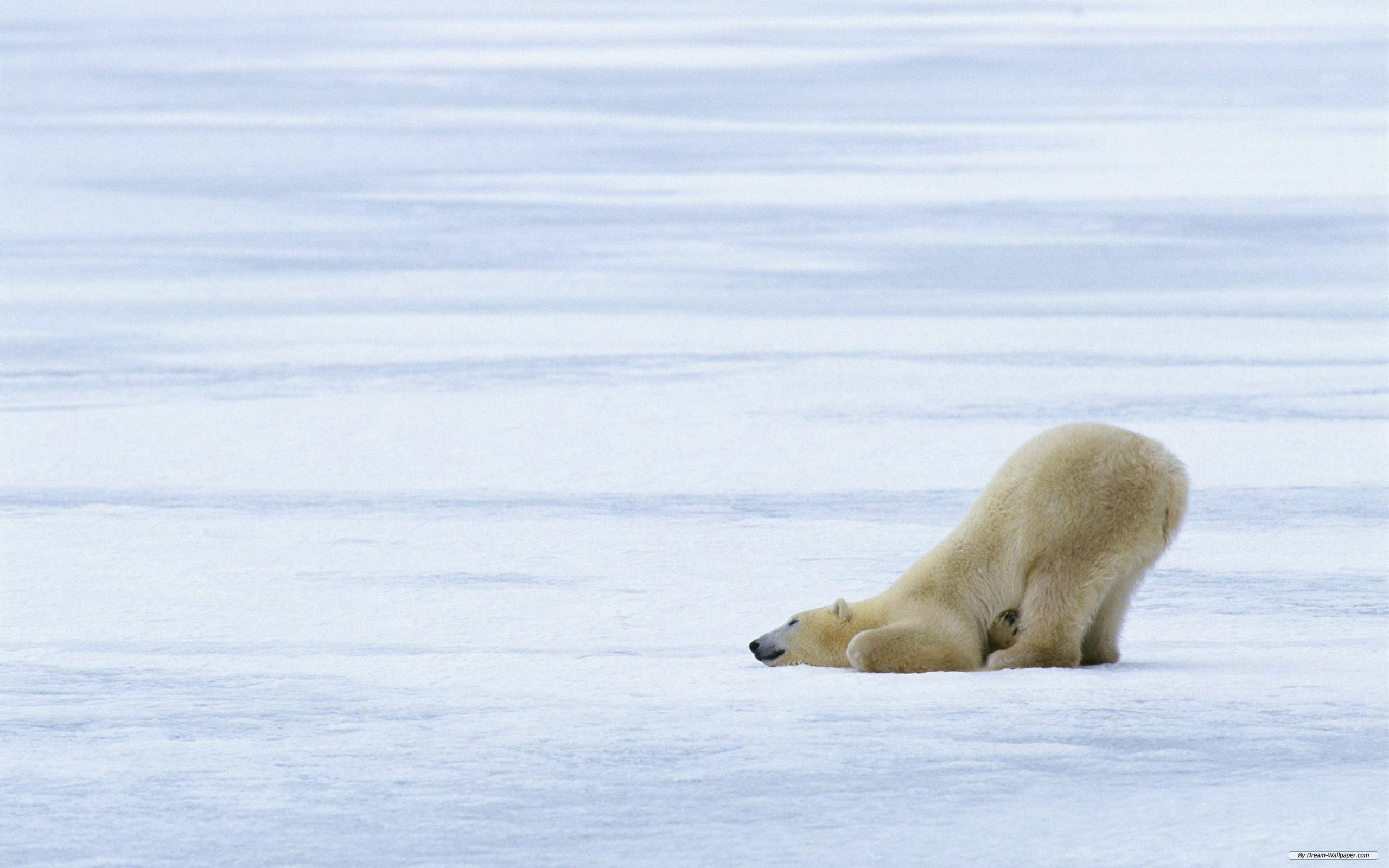 polar bear full hd wallpaper and background image | 2560x1600 | id