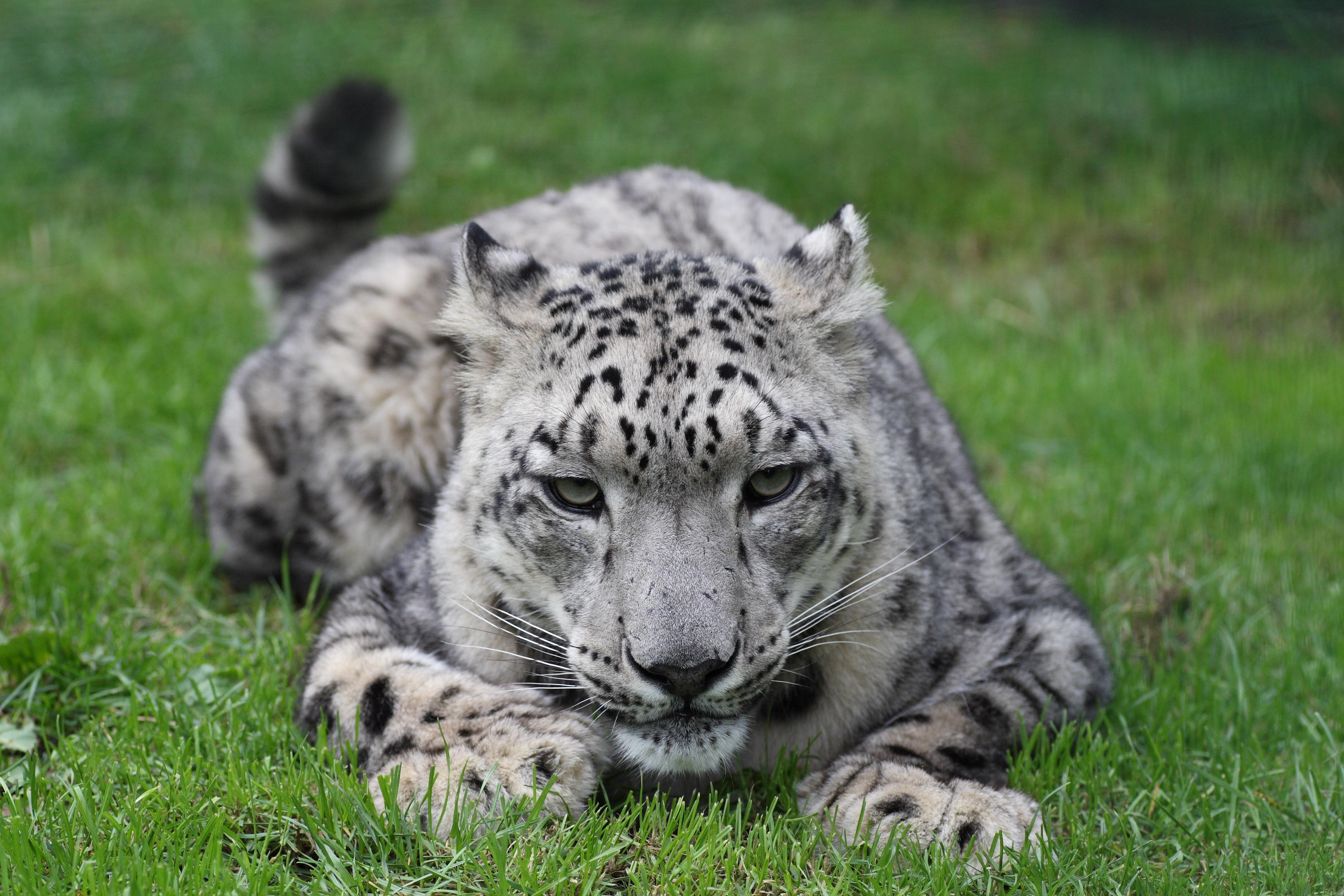 Simple Wallpaper Mac Snow Leopard - 116969  2018_475474.jpg