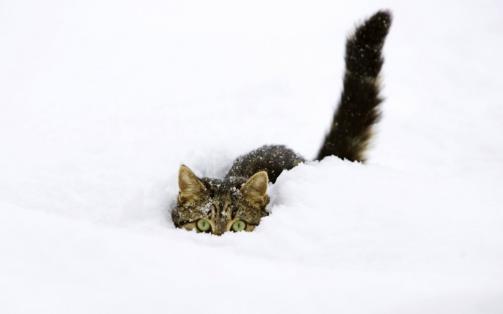Animaux - Chat  Tabby Cat Hiding Snow Fond d'écran