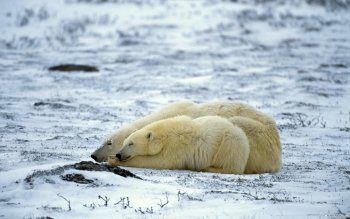 Animal - Polar Bear Wallpapers and Backgrounds ID : 116469