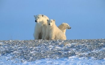 Animal - Polar Bear Wallpapers and Backgrounds ID : 116545