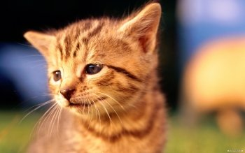 Animal - Cat Wallpapers and Backgrounds ID : 116595