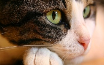 Animal - Cat Wallpapers and Backgrounds ID : 116775