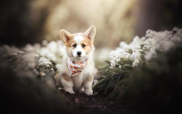 Animal Welsh Corgi Dog Puppy Baby Animal HD Wallpaper | Background Image