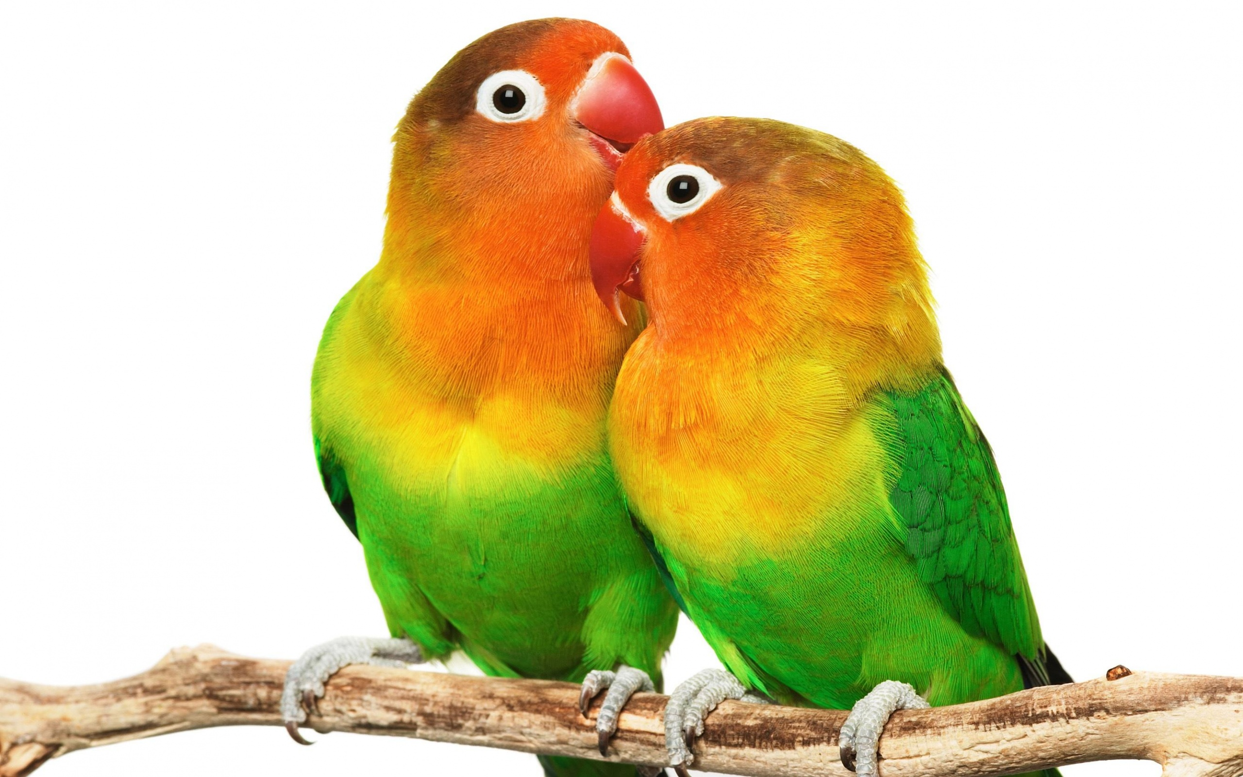 Love Birds Hd Wallpapers And Images Free Download: Backgrounds - Wallpaper Abyss