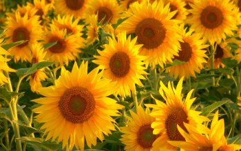 Earth - Sunflower Wallpapers and Backgrounds ID : 117647