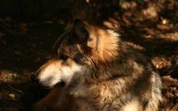 Animal - Wolf Wallpapers and Backgrounds ID : 117979