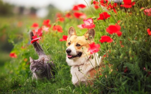 Animal Cat & Dog Cat Dog Corgi Poppy HD Wallpaper   Background Image