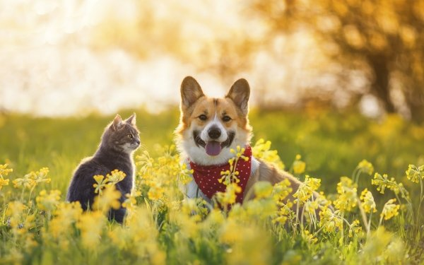 Animal Cat & Dog Cat Dog Corgi HD Wallpaper   Background Image