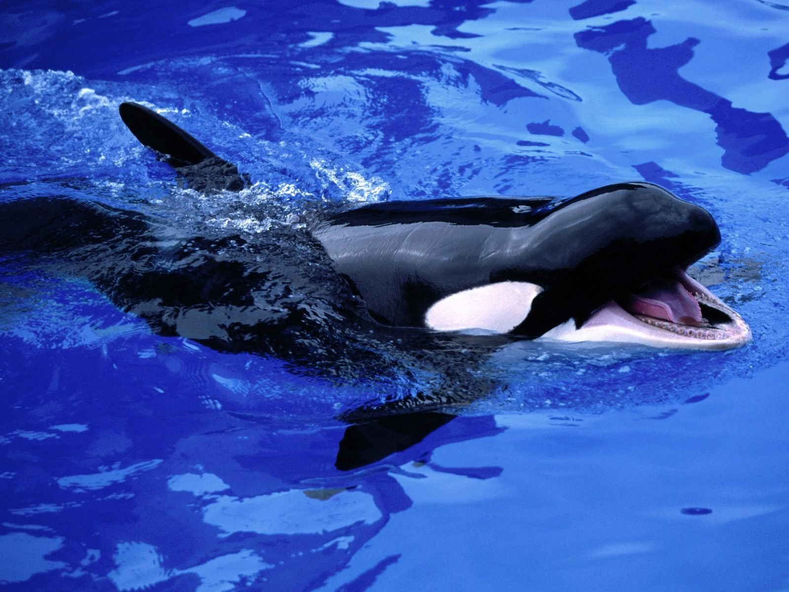 Animal - Whale  Killer Whale Wallpaper