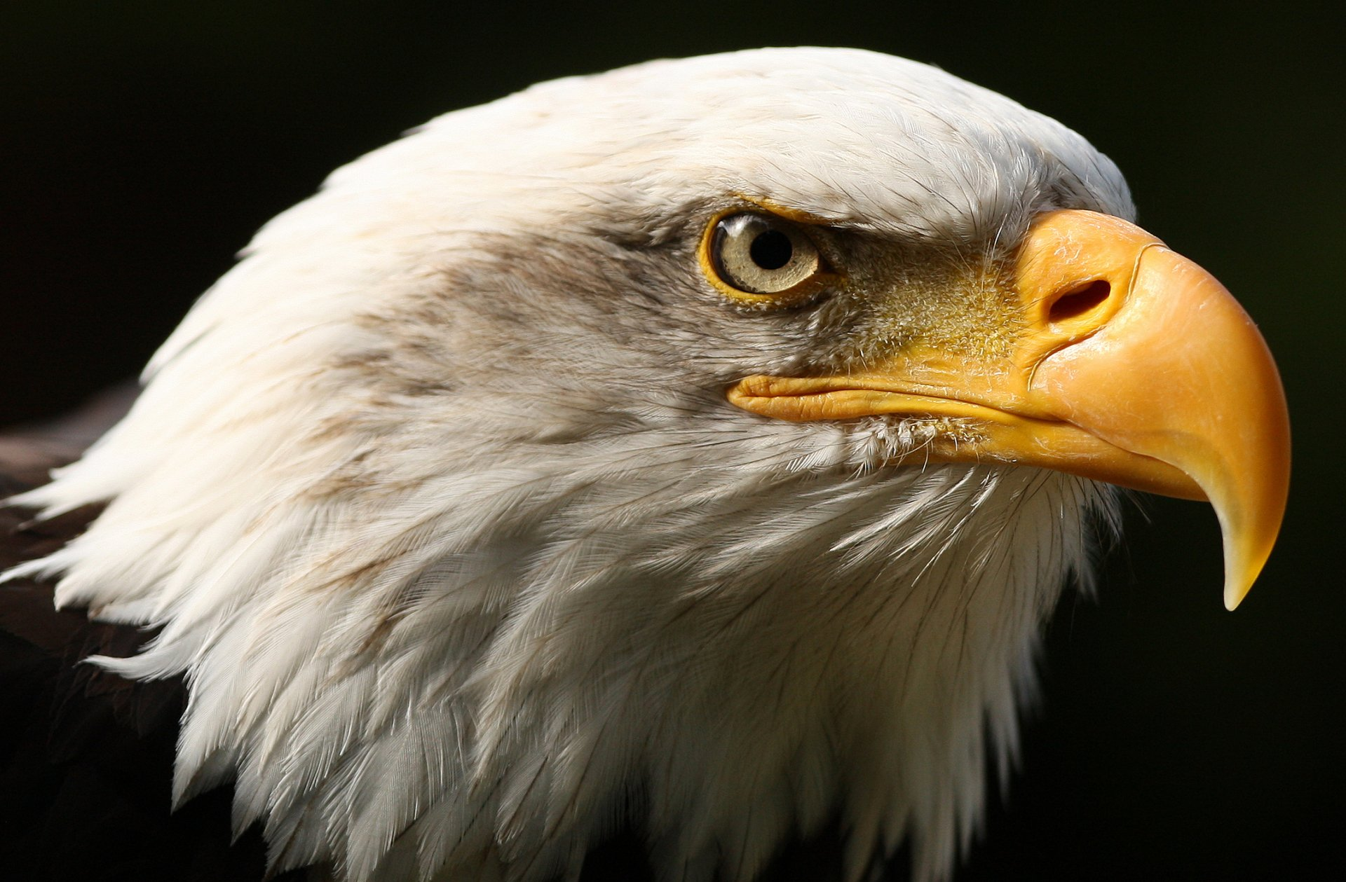 Eagle Bird Collection Of Wild Life Animals Wallpapers For: Eagle HD Wallpaper