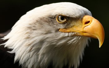 Animal - Eagle Wallpapers and Backgrounds ID : 124139