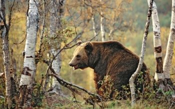 Animal - Bear Wallpapers and Backgrounds ID : 124155
