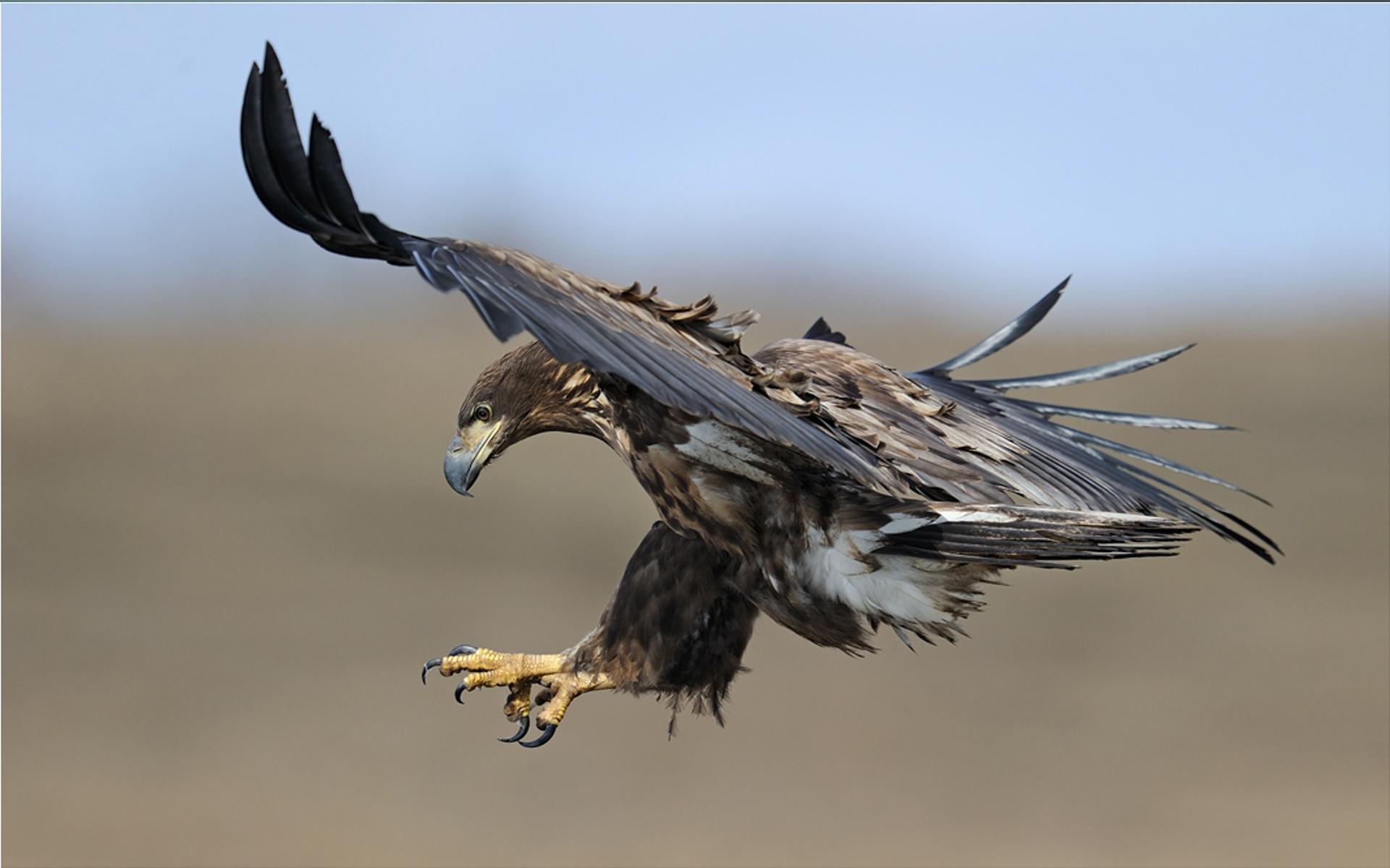 Animal - Eagle  Wallpaper
