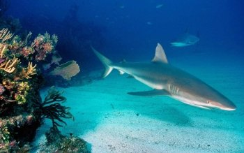 Animal - Shark Wallpapers and Backgrounds ID : 131475