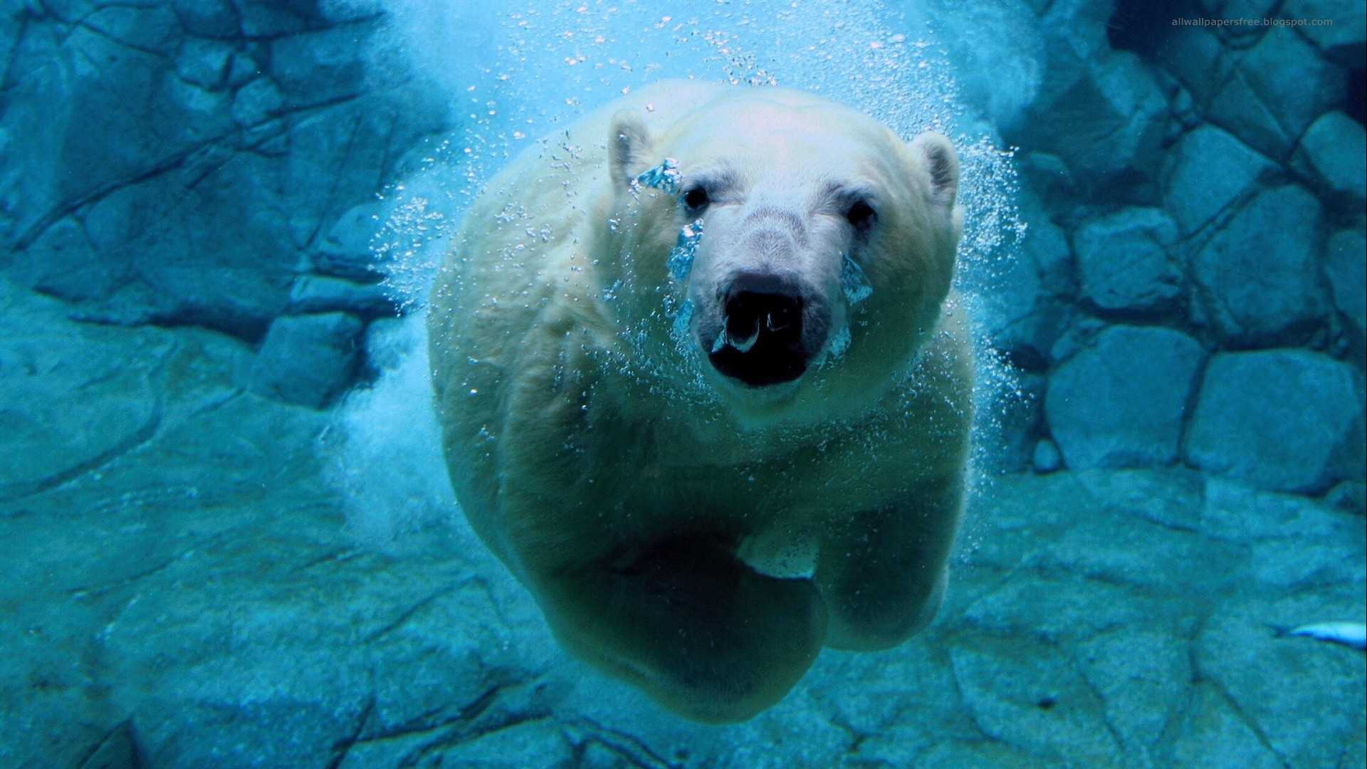 Animal - Polar Bear  Wallpaper