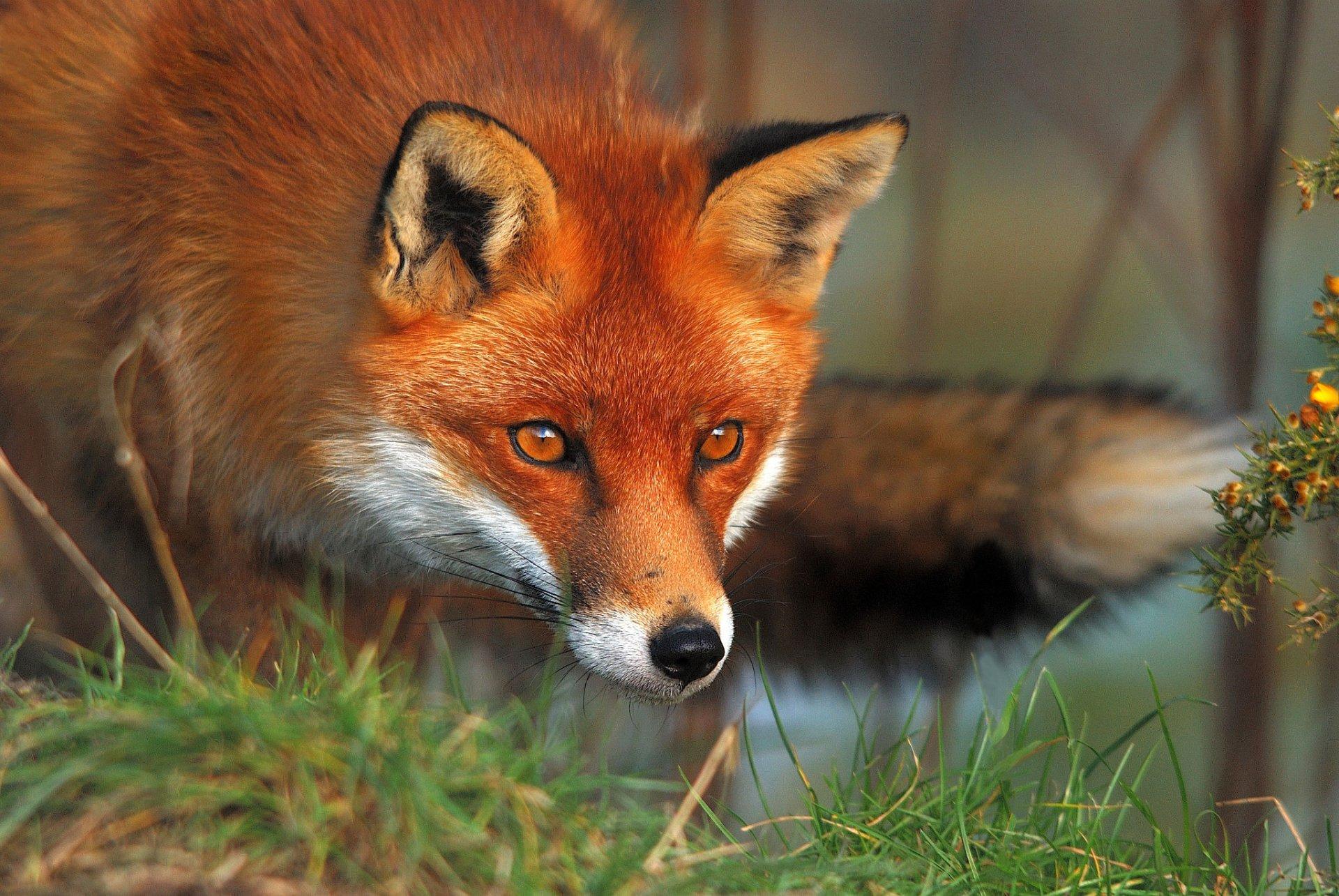 Animal - Fox  Animal Wildlife Wallpaper