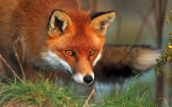 Animal - Fox Wallpapers and Backgrounds ID : 148149