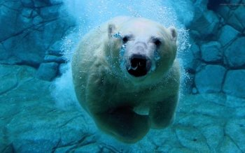Animal - Polar Bear Wallpapers and Backgrounds ID : 148325