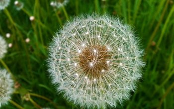 Earth - Dandelion Wallpapers and Backgrounds ID : 148339