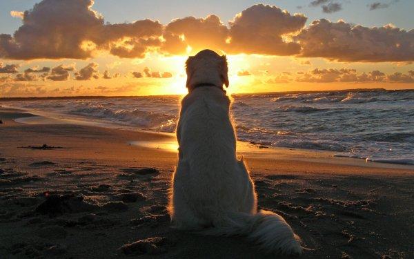 Animal Golden Retriever Dogs Sunset Beach Dog HD Wallpaper | Background Image