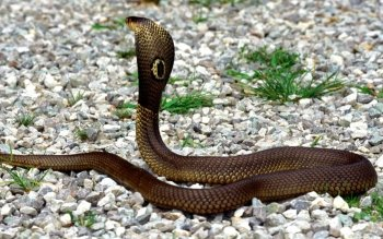 Animal - Cobra Wallpapers and Backgrounds ID : 149275