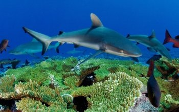 Animal - Shark Wallpapers and Backgrounds ID : 150797