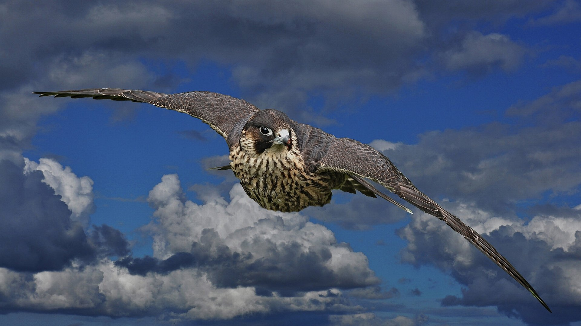Falcon hd wallpaper background image 1920x1080 id - Birds of prey wallpaper hd ...