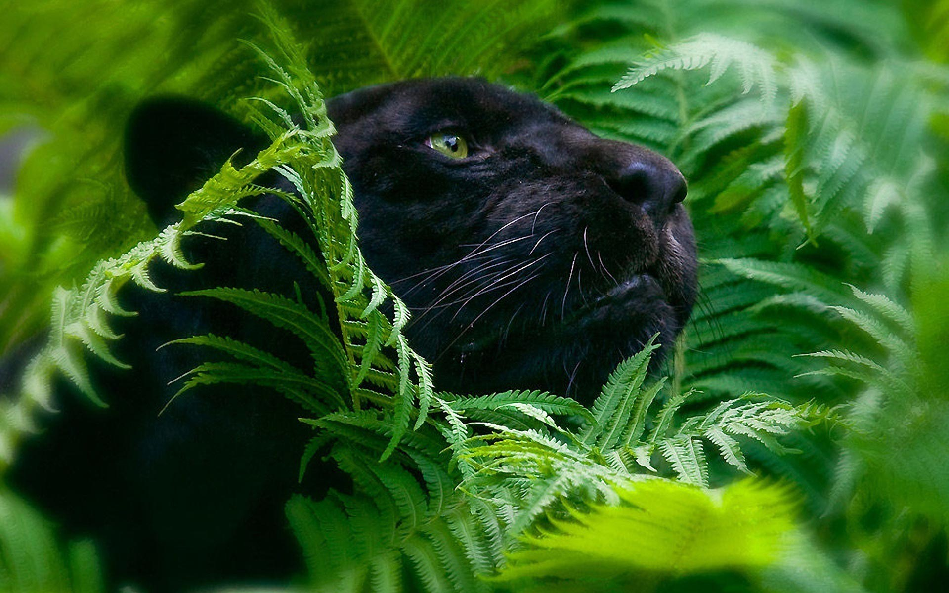 black leopard backgrounds - photo #22