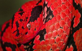 Animal - Snake Wallpapers and Backgrounds ID : 155887