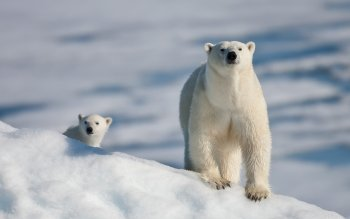 Animal - Polar Bear Wallpapers and Backgrounds ID : 156359