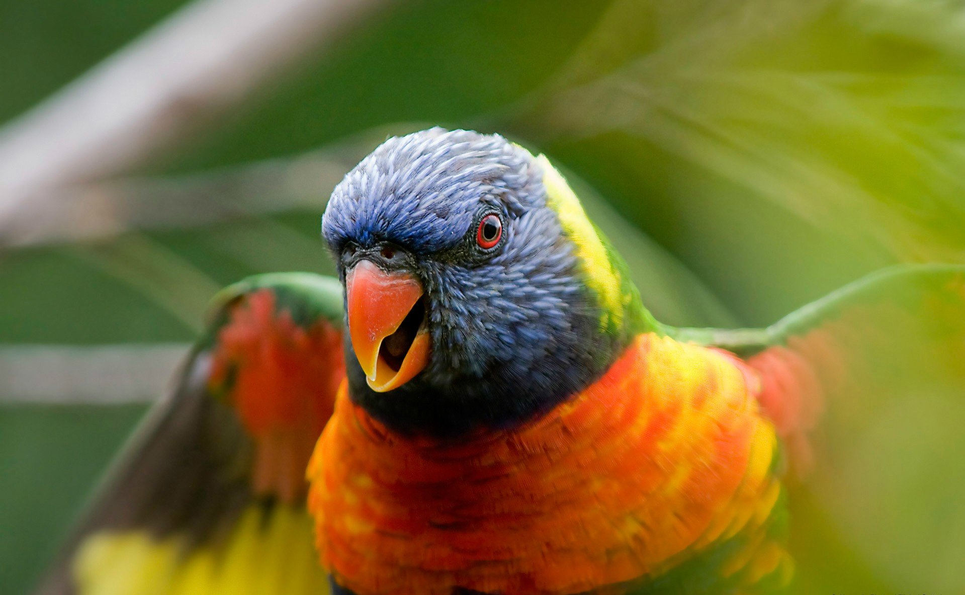 Animal - Rainbow Lorikeet  Parrot Wallpaper