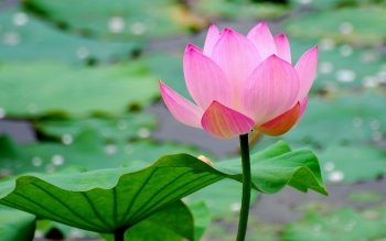 170 Lotus Hd Wallpapers Background Images Wallpaper Abyss