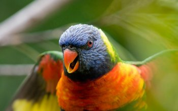 Animal - Rainbow Lorikeet Wallpapers and Backgrounds ID : 158317