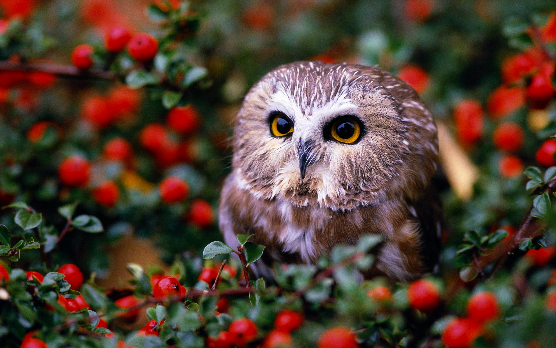 owl in garden Full HD Wallpaper and Background | 1920x1200 ...