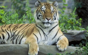 Animal - Tiger Wallpapers and Backgrounds ID : 167155